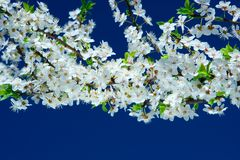 Free Flowers Of Cherry Tree Royalty Free Stock Photography - 5179427