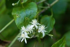 Free Flowers Of Clematis Vitalba. Stock Image - 96645061