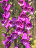 Flowers Of Common Foxglove Stock Images