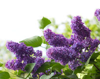 Free Flowers Of Lilac Stock Photos - 14568053