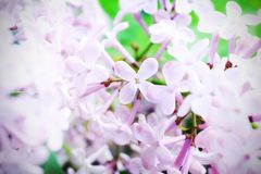 Flowers Of Lilac Royalty Free Stock Image