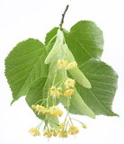 Flowers Of Linden-tree Royalty Free Stock Photo