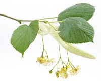Flowers Of Linden-tree Royalty Free Stock Photography