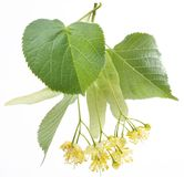 Flowers Of Linden-tree Stock Images