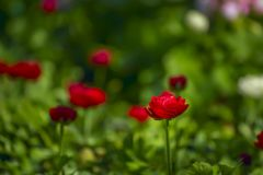 Free Flowers Of Red Buttercups Royalty Free Stock Photography - 114218917
