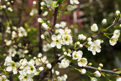 Free Flowers Of The Cherry Blossoms On A Spring Day Royalty Free Stock Photo - 55632185