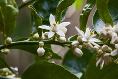 Free Flowers Of The Olive Tree Olea Europea  10014 Stock Photography - 180523512