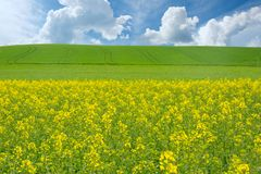 Flowers of oil in rapeseed field with blue sky and clouds Stock Image