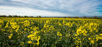 Flowers of oil in rapeseed field with blue sky and clouds!! royalty free stock photos