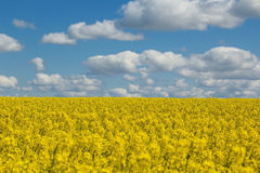 Flowers of oil in rapeseed field, blue sky and clouds Stock Photography