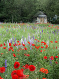 Flowers and Old House. Old house in a field of red and blue flowers Stock Photo