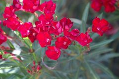 Flowers of an oleander shrub Royalty Free Stock Photo