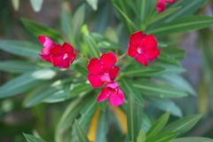 Flowers of an oleander shrub Royalty Free Stock Photos