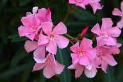 Flowers of an oleander shrub Stock Photo