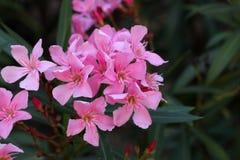 Flowers of an oleander shrub Stock Photos