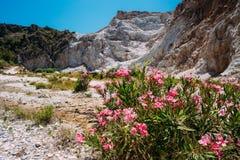 Flowers Oleanders Blooming In Flowering In Dry Stock Photography