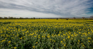 flowers olej w rapeseed polu z niebieskim niebem i chmurami zdjęcia royalty free