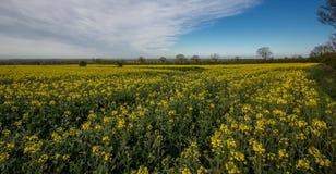 flowers olej w rapeseed polu z niebieskim niebem i chmurami fotografia royalty free