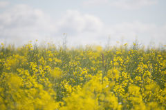 flowers olej w rapeseed polu z niebieskim niebem i chmurami zdjęcia stock