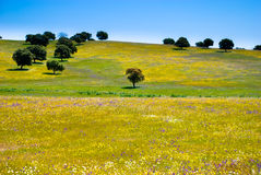 Flowers and Olive Trees. Stock Photos