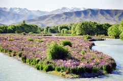 Free Flowers On Riverbed, New Zealand Stock Photography - 13509572
