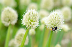 Flowers of onion with bumblebee Stock Photo