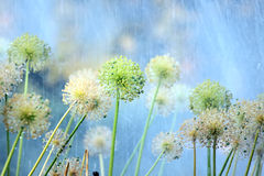 Flowers of onion under rain in the garden Royalty Free Stock Photography