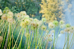 Flowers of onion under rain in the garden Royalty Free Stock Images