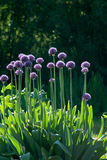 Flowers of onions against  sunlight Stock Photography