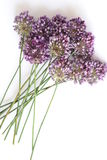 Flowers onions on a white background, allium Stock Photography