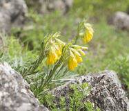Flowers of Onosma Crimean Stock Image