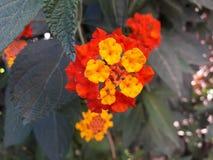 Flowers. Open flowers in my  garden  meknes Morocco Stock Photo