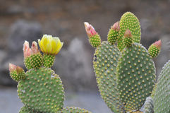 Flowers of Opuntia ficus-indica. Closeup of Opuntia ficus-indica cactus at the canary in Tenerife Royalty Free Stock Photo