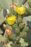 Flowers of Opuntia ficus-indica Stock Photos