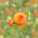 Flowers Orange Dahlia Stock Images