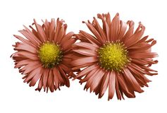 Flowers of orange daisies on white isolated background. Two chamomiles for design. View from above. Close-up. Royalty Free Stock Photography