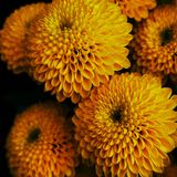 Beautiful flowers , Orange Dhalia from my garden. royalty free stock photo