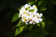 Flowers,Orange Jessamine Royalty Free Stock Photography
