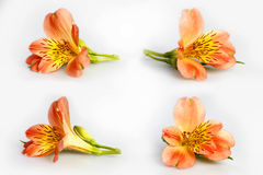 Flowers of orange lily  on white. Composition with beautiful flowers. Stock Images