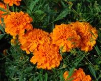 Flowers of orange marigold Royalty Free Stock Images