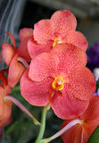 Flowers of orange orchid Royalty Free Stock Images