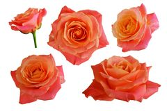 Flowers of orange, pink roses. Isolated, white background Royalty Free Stock Images