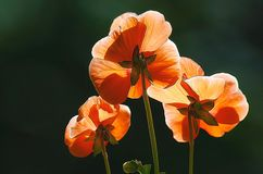Flowers. These orange / red pansies are in full bloom with added painterly texture Stock Image