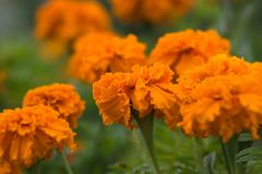 Flowers of orange tagetes on a green background in the garden. The flower garden in August. Оrange flowers tagetes in the flowering period on the flowerbed Stock Photos