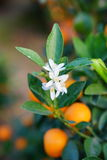 Flowers of an orange tree Royalty Free Stock Image