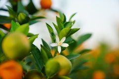 Flowers of an orange tree Royalty Free Stock Photo