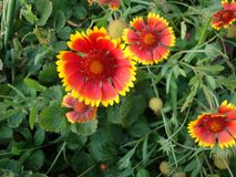 The flowers are orange with yellow. Rich color. Green carved foliage Royalty Free Stock Images