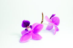 Flowers orchid on a light background Stock Photos