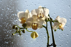 Flowers orchid on a rain drops background Royalty Free Stock Photos