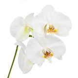 Flowers orchids isolated on white background. Closeup Stock Photography